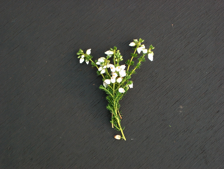 Thumbnail photograph of Alba Minor