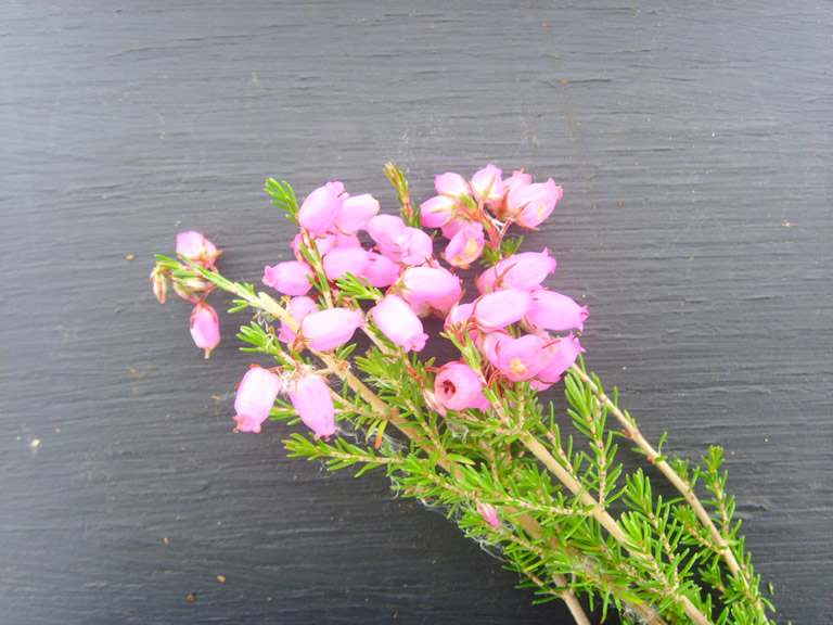 Thumbnail photograph of Knap Hill Pink