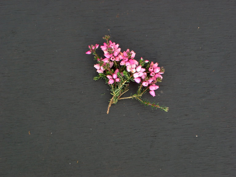 Thumbnail photograph of Pink Ice